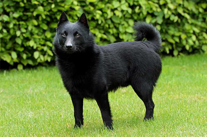 Big Black Short Haired Dog With Floppy Ears