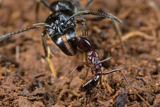 Siafu Ants