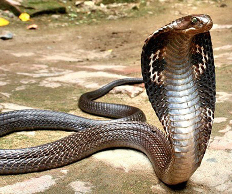 the deadliest snakes in the world dailyforest