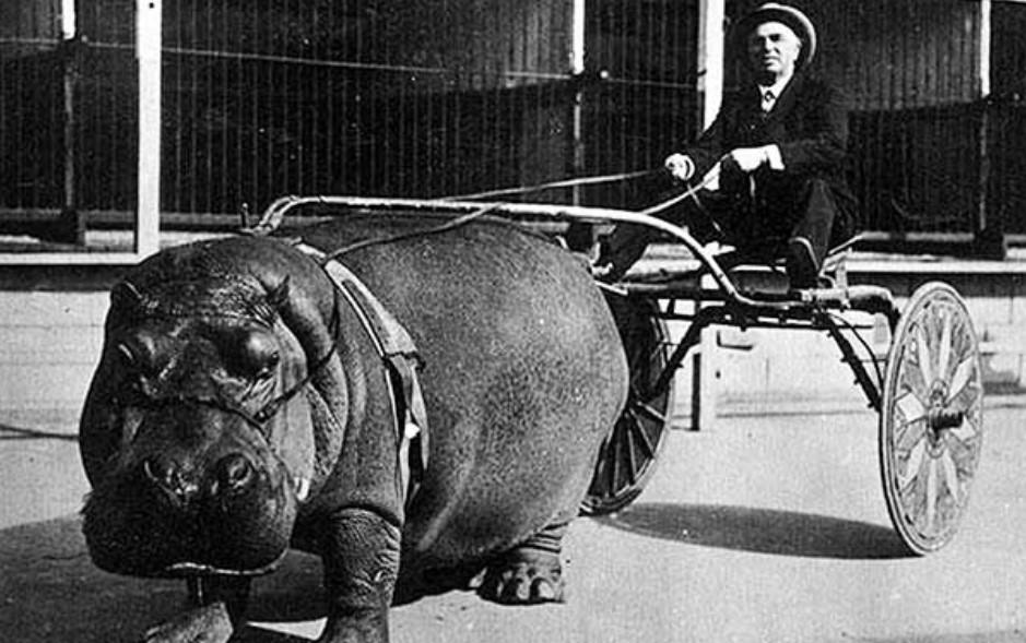 Hitch A Hippo