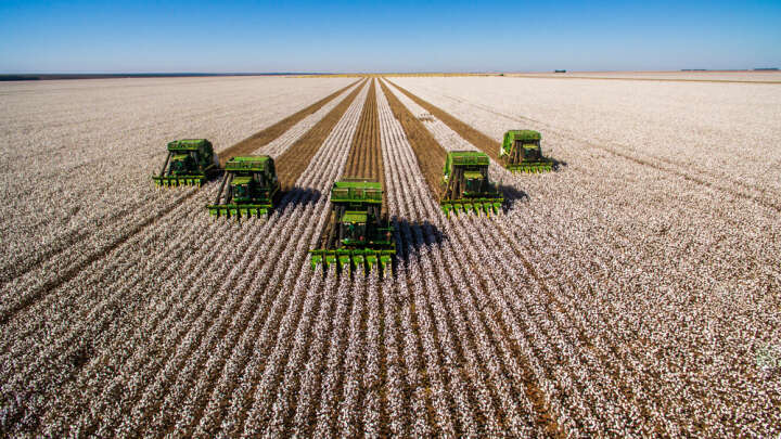 Tractors Harvesting Cotton Plants In Brazil