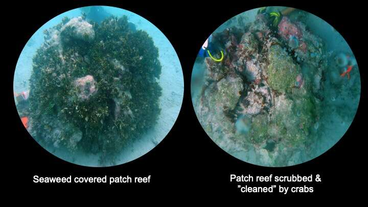 Reefs Affected By The Presence Of Crabs Vs None