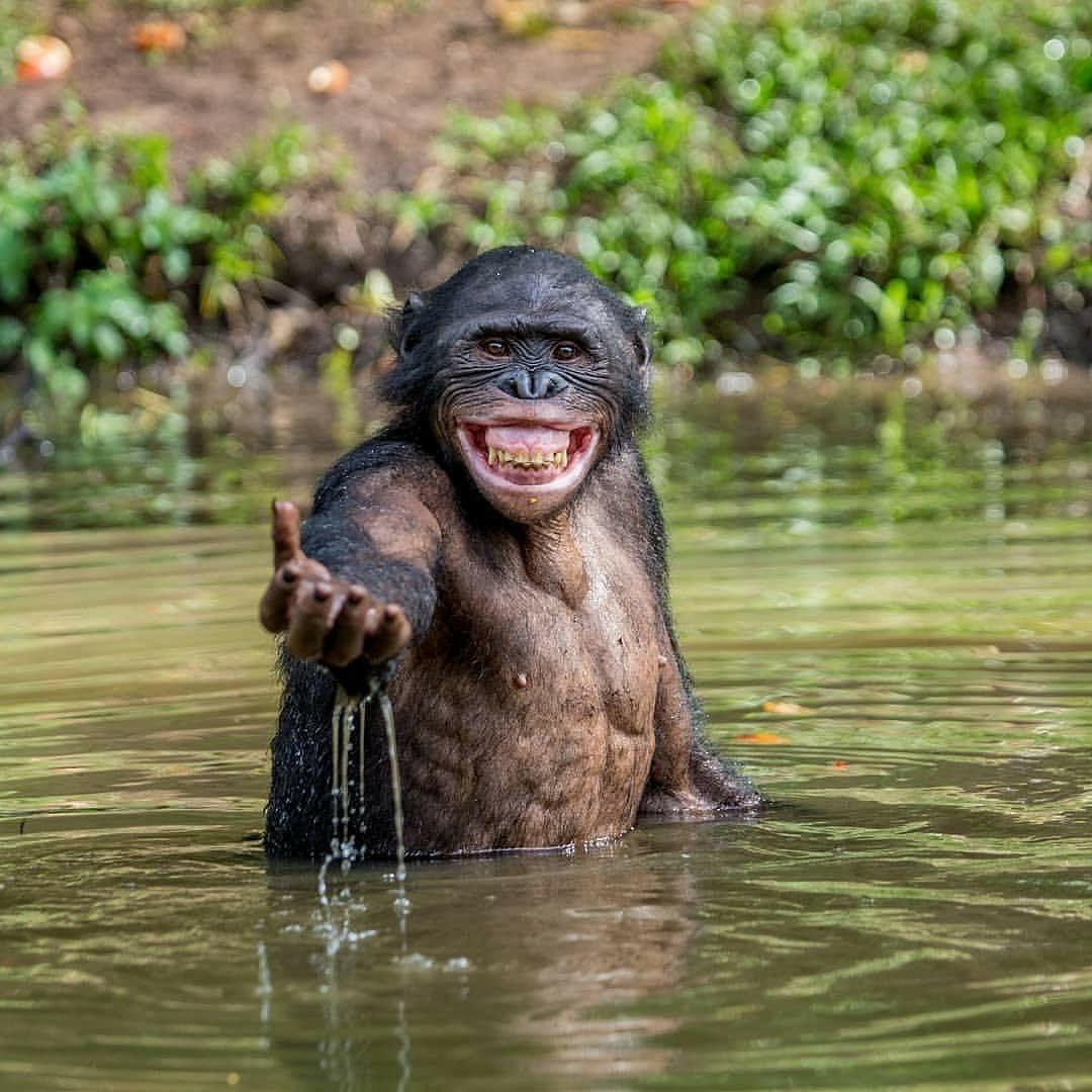 Chimpanzees Greet One Another