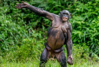 Waving Hello Signals Greeting Among Apes