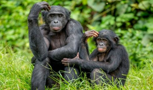Could Apes Share Our Trait Of Joint Commitment?